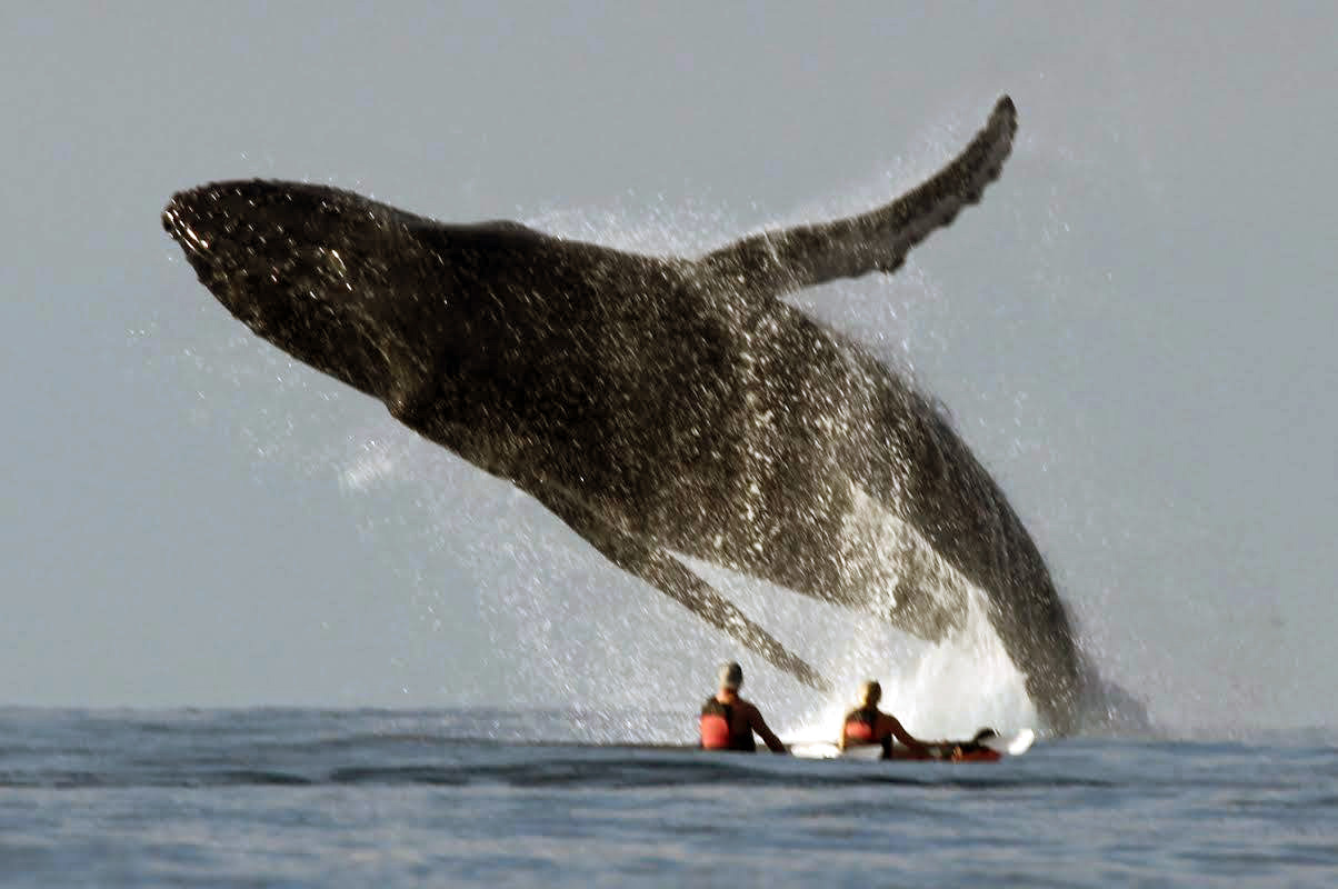 Whale Jumping Near Kayakers