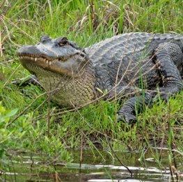 Alligator Keeping an Eye on Us