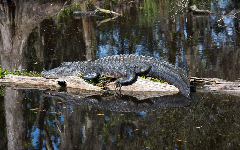 Alligator Resting on a Log