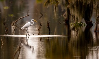 Egret in a Louisiana Swamp