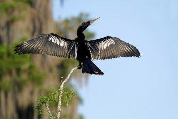 An Anhinga Drying Its Wings