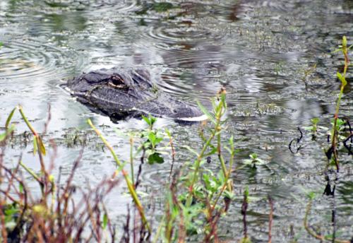 An Alligator in a Canal in Louisiana