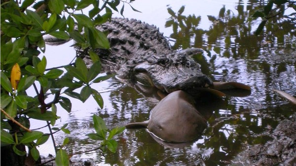 Alligator Eating A Nurse Shark