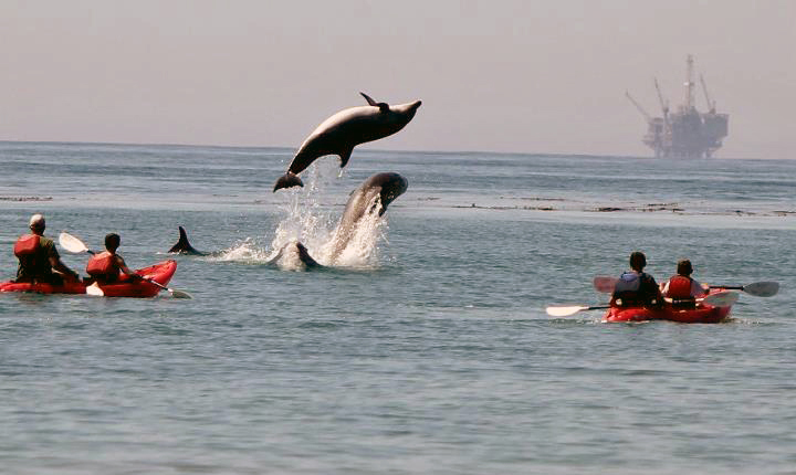 Dolphins Leaping Near Kayakers