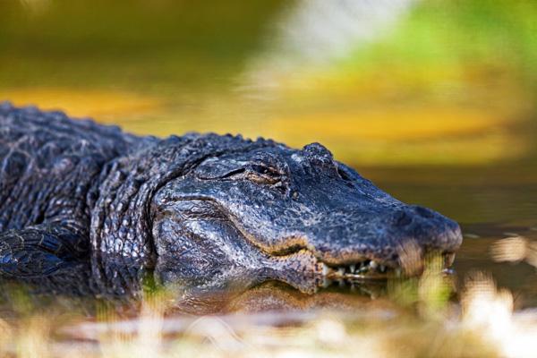 Large Alligator Keeping an Eye on Me