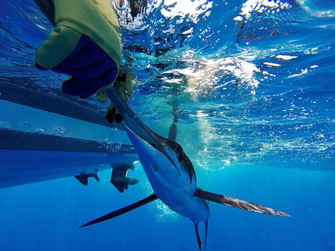 Gently Releasing a Marlin