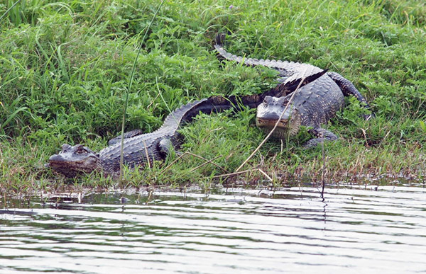Two Alligators Resting on the Bank