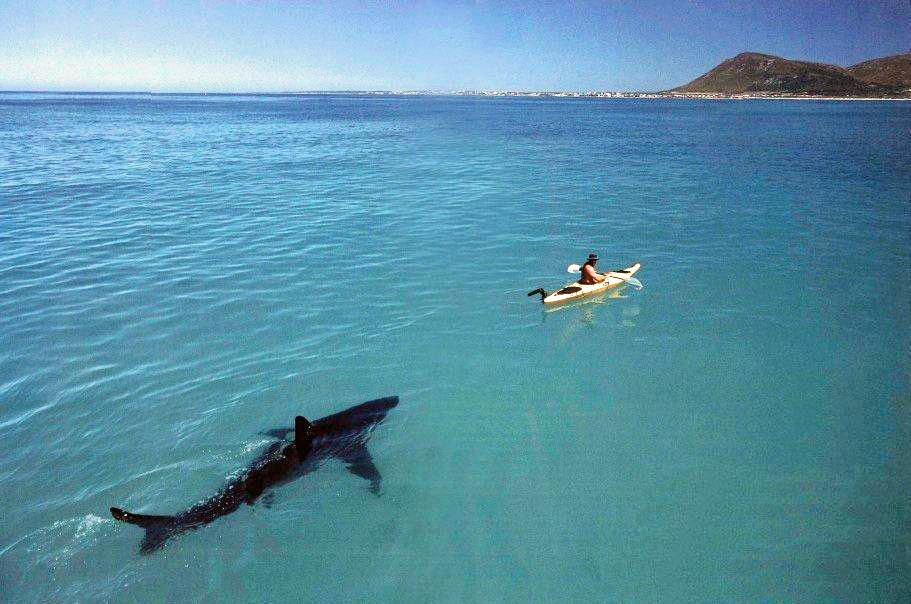 Great White Shark Following a Kayak